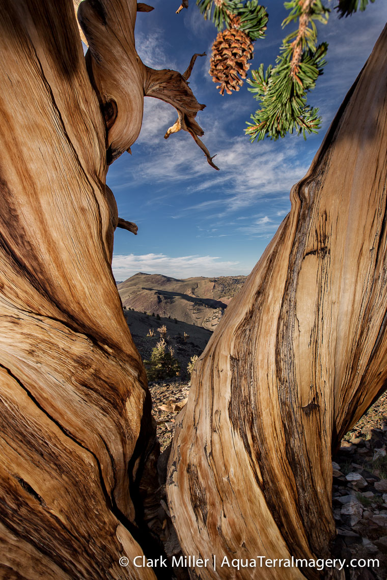 Bristlecone Pine Forest July 2014 1255 4web