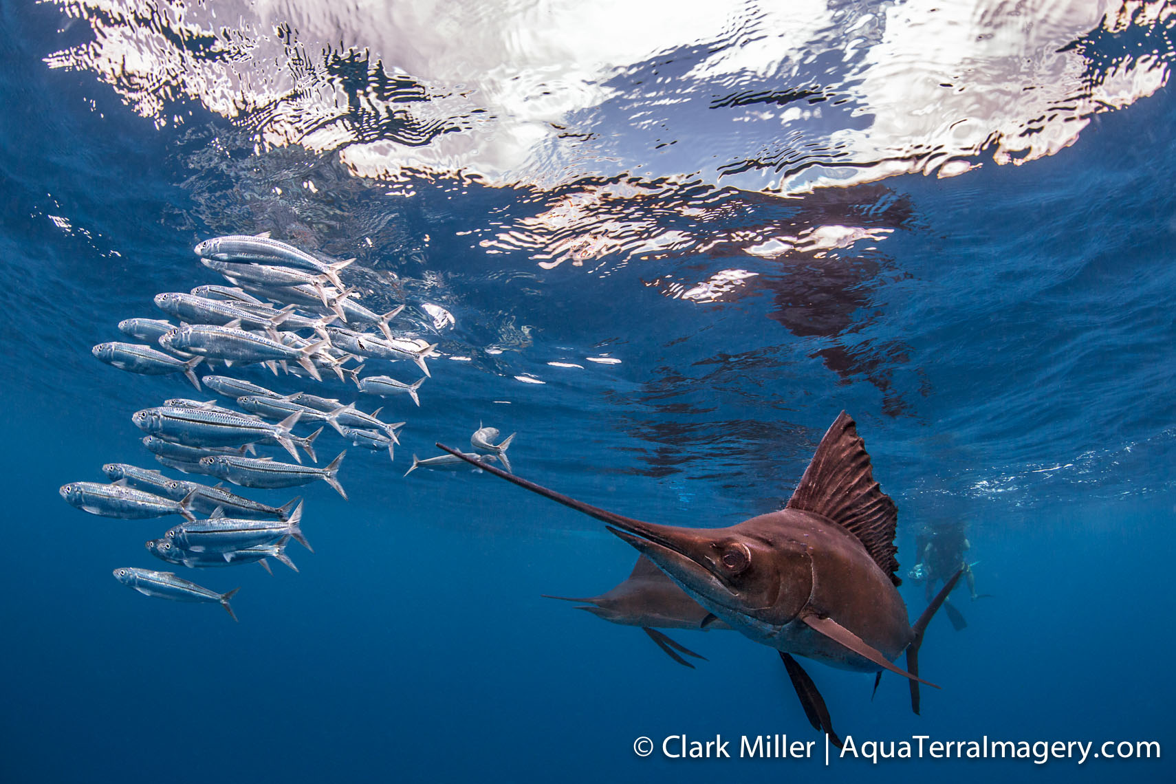 Sailfish 087 4web