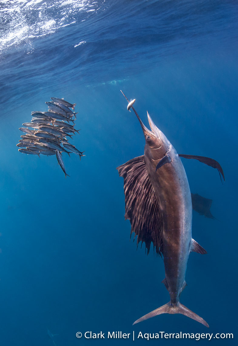 Sailfish 360 4web