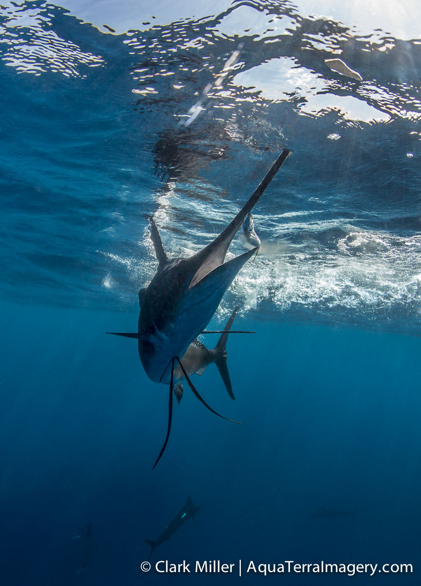 Sailfish 392 4web